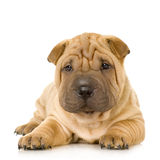 Sharpei Royalty Free Stock Images