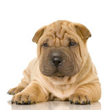 Sharpei Royalty-vrije Stock Fotografie