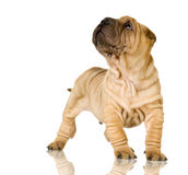 sharpei Obraz Stock