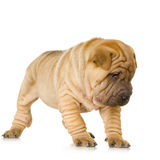 Sharpei Royalty Free Stock Photo
