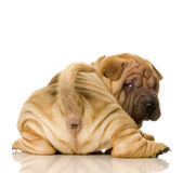 Sharpei stock photography
