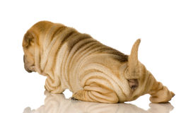 sharpei Royaltyfria Bilder