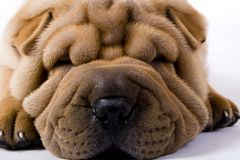 Sharpei Images stock