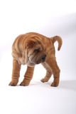 Sharpei 7 Stock Photo