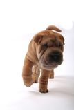 Sharpei 9. A nice sharpei dog walking in white desk Stock Image