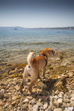 Sharpei in beach Royalty Free Stock Image