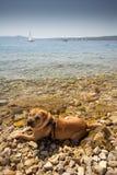Sharpei in beach Stock Photo