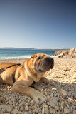 Sharpei in beach Royalty Free Stock Photos
