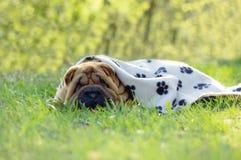 Sharpei behandla som ett barn hunden Royaltyfri Fotografi