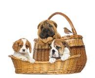 Sharpei, Cavalier King Charles, English Bulldog puppies Royalty Free Stock Photography