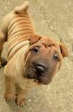 Sharpei do cachorrinho da jovem corça Imagem de Stock