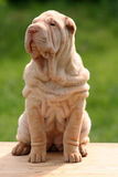 Sharpei do filhote de cachorro Foto de Stock Royalty Free