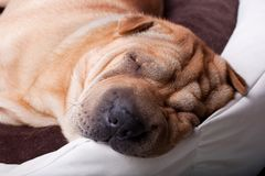 Sharpei dog Stock Image