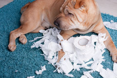 Sharpei dog. With toilette paper Royalty Free Stock Photo