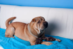 Sharpei dog Royalty Free Stock Photo