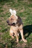 Sharpei dog Royalty Free Stock Images