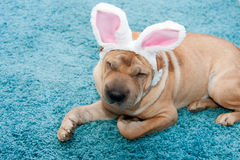 Sharpei dog. Wearing easter rabbit ears Stock Images