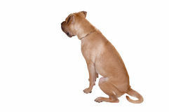 Sharpei dog. Royalty Free Stock Photo