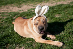 Sharpei dog Royalty Free Stock Photos