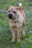 Sharpei dog Stock Photo