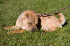Sharpei dog Stock Photos