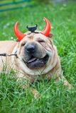 Sharpei dog as devil Stock Photography