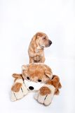 Sharpei dog and bear Royalty Free Stock Photos
