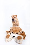 Sharpei dog and bear Royalty Free Stock Images