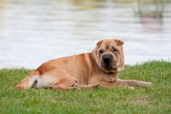 Sharpei dog Stock Images