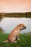 Sharpei dog Stock Image