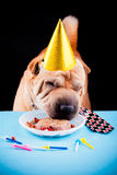 Sharpei dog celebrating birthday Stock Photos