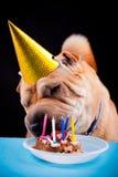 Sharpei dog celebrating birthday Royalty Free Stock Photography