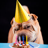 Sharpei dog celebrating birthday Stock Photos