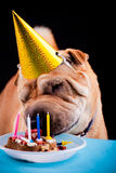 Sharpei dog celebrating birthday Royalty Free Stock Photo