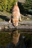 Sharpei dog drinking Stock Photo