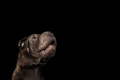 Sharpei Dog Isolated on Black Background. Close-up Portrait of Growls Sharpei Dog, on Isolated Black Background, Front view Stock Photos