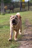 Sharpei dog outdoor Royalty Free Stock Photography