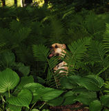 Sharpei dog in plants. Royalty Free Stock Images