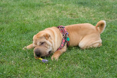 Sharpei dog playing Stock Images