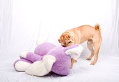 Sharpei dog playing Royalty Free Stock Photos