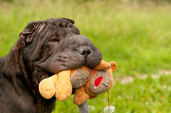Sharpei dog playing with teddy bear in park Stock Photography