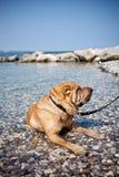 Sharpei dog Royalty Free Stock Image