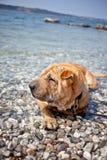 Sharpei dog Royalty Free Stock Photo