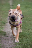 Sharpei dog Stock Photo