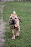 Sharpei dog Stock Photos