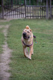 Sharpei dog Royalty Free Stock Image