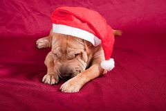 Sharpei dog with santa hat Stock Photography