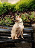 Sharpei dog sitting on bench. Stock Image