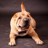 Sharpei dog in studio Stock Image