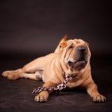 Sharpei dog in studio Royalty Free Stock Photos